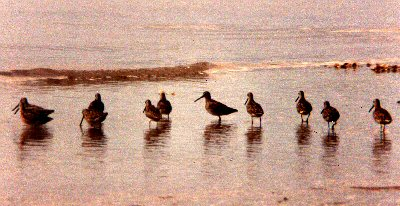Short-billed Dowitchers - Maine
